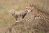 Cheetah_Young_Cub_Mom_Rekero_Mara_2018_Kenya_0042