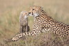 Cheetah_Young_Cub_Mom_Rekero_Mara_2018_Kenya_0003