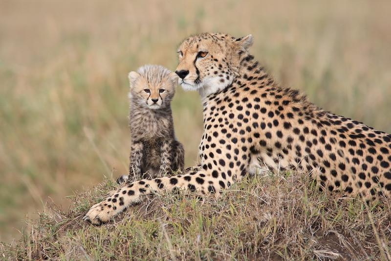 Cheetah_Young_Cub_Mom_Rekero_Mara_2018_Kenya_0001