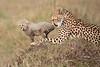 Cheetah_Young_Cub_Mom_Rekero_Mara_2018_Kenya_0041