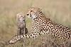 Cheetah_Young_Cub_Mom_Rekero_Mara_2018_Kenya_0004