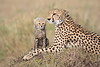 Cheetah_Young_Cub_Mom_Rekero_Mara_2018_Kenya_0007