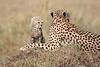 Cheetah_Young_Cub_Mom_Rekero_Mara_2018_Kenya_0011