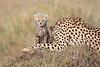 Cheetah_Young_Cub_Mom_Rekero_Mara_2018_Kenya_0019