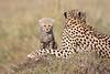 Cheetah_Young_Cub_Mom_Rekero_Mara_2018_Kenya_0014