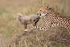 Cheetah_Young_Cub_Mom_Rekero_Mara_2018_Kenya_0037