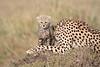 Cheetah_Young_Cub_Mom_Rekero_Mara_2018_Kenya_0016