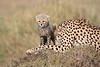 Cheetah_Young_Cub_Mom_Rekero_Mara_2018_Kenya_0024