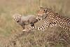 Cheetah_Young_Cub_Mom_Rekero_Mara_2018_Kenya_0043