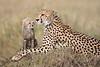 Cheetah_Young_Cub_Mom_Rekero_Mara_2018_Kenya_0006