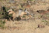 Bat_Eared_Fox_Elephant_Pepper_Mara_North_2018_Kenya_0018