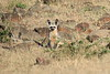 Bat_Eared_Fox_Elephant_Pepper_Mara_North_2018_Kenya_0007