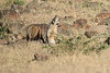 Bat_Eared_Fox_Elephant_Pepper_Mara_North_2018_Kenya_0005