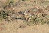 Bat_Eared_Fox_Elephant_Pepper_Mara_North_2018_Kenya_0010