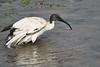 Sacred_Ibis_Bathing_Tangulia_Marsh_Mara_Reserve_2018_Kenya_0025