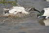 Sacred_Ibis_Bathing_Tangulia_Marsh_Mara_Reserve_2018_Kenya_0029