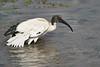 Sacred_Ibis_Bathing_Tangulia_Marsh_Mara_Reserve_2018_Kenya_0019