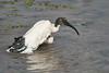 Sacred_Ibis_Bathing_Tangulia_Marsh_Mara_Reserve_2018_Kenya_0022