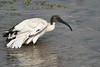Sacred_Ibis_Bathing_Tangulia_Marsh_Mara_Reserve_2018_Kenya_0023