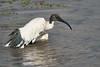 Sacred_Ibis_Bathing_Tangulia_Marsh_Mara_Reserve_2018_Kenya_0026