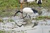 Birds_Eating_Marsh_Tangulia_Mara_Reserve_2018_Kenya_0031