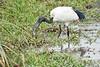 Birds_Eating_Marsh_Tangulia_Mara_Reserve_2018_Kenya_0041