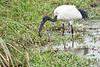 Birds_Eating_Marsh_Tangulia_Mara_Reserve_2018_Kenya_0043
