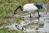 Birds_Eating_Marsh_Tangulia_Mara_Reserve_2018_Kenya_0036