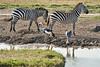 Crowned_Crane_Elephant_Pepper_Mara_North_2018_Kenya_0006
