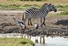 Crowned_Crane_Elephant_Pepper_Mara_North_2018_Kenya_0007