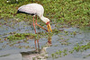 Yellow-Billed_Stork_Marsh_Tangulia_Mara_Reserve_2018_Kenya_0008