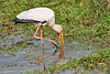 Yellow-Billed_Stork_Marsh_Tangulia_Mara_Reserve_2018_Kenya_0015