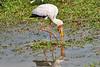 Yellow-Billed_Stork_Marsh_Tangulia_Mara_Reserve_2018_Kenya_0005