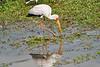 Yellow-Billed_Stork_Marsh_Tangulia_Mara_Reserve_2018_Kenya_0007