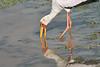 Yellow-Billed_Stork_Marsh_Tangulia_Mara_Reserve_2018_Kenya_0020