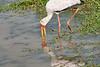 Yellow-Billed_Stork_Marsh_Tangulia_Mara_Reserve_2018_Kenya_0018
