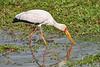 Yellow-Billed_Stork_Marsh_Tangulia_Mara_Reserve_2018_Kenya_0013