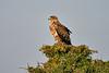 Tawny_Eagle_Tangulia_Mara_Reserve_2018_Kenya_0001