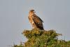 Tawny_Eagle_Tangulia_Mara_Reserve_2018_Kenya_0008