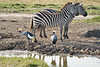 Crowned_Crane_Elephant_Pepper_Mara_North_2018_Kenya_0009