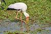 Yellow-Billed_Stork_Marsh_Tangulia_Mara_Reserve_2018_Kenya_0001
