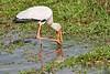Yellow-Billed_Stork_Marsh_Tangulia_Mara_Reserve_2018_Kenya_0017