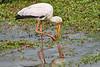 Yellow-Billed_Stork_Marsh_Tangulia_Mara_Reserve_2018_Kenya_0011