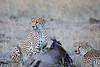 Cheetah_At_Kill_Elephant_Pepper_MaraNorth_2018_Kenya_0006