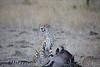 Cheetah_At_Kill_Elephant_Pepper_MaraNorth_2018_Kenya_0015