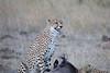 Cheetah_At_Kill_Elephant_Pepper_MaraNorth_2018_Kenya_0014