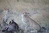 Cheetah_At_Kill_Elephant_Pepper_MaraNorth_2018_Kenya_0020