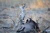 Cheetah_At_Kill_Elephant_Pepper_MaraNorth_2018_Kenya_0043