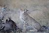 Cheetah_At_Kill_Elephant_Pepper_MaraNorth_2018_Kenya_0023