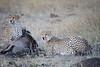 Cheetah_At_Kill_Elephant_Pepper_MaraNorth_2018_Kenya_0005